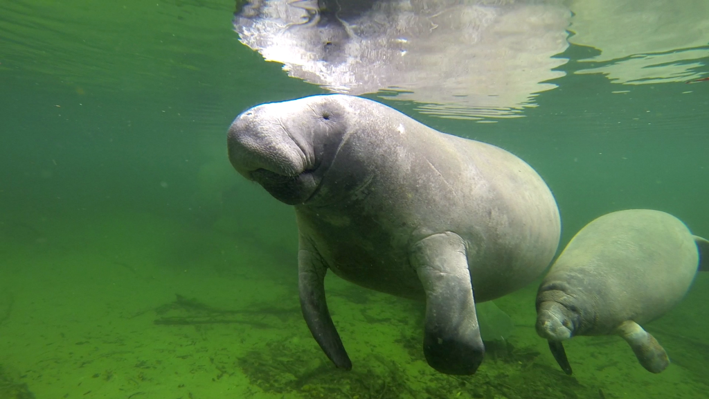 Manatee May and her calf at Blue Spring by Cora Berchem